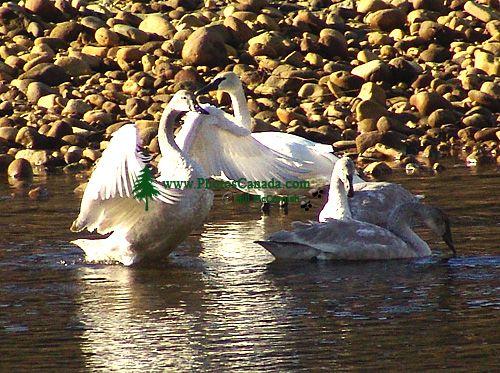 Trumpeter Swan 04