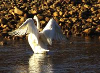 Trumpeter Swan 03