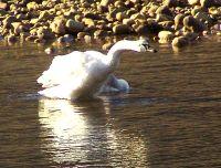 Trumpeter Swan 02