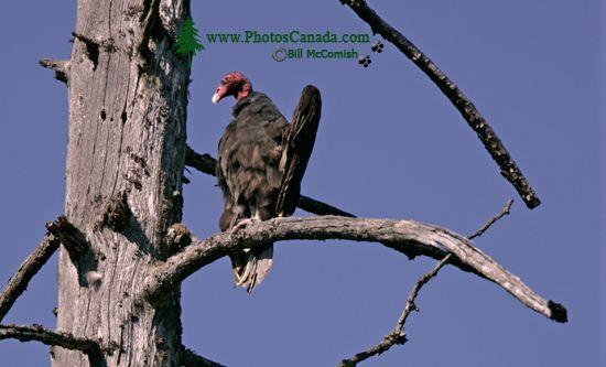 Turkey Vulture, Vancouver Island, BC CM11-004