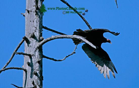Turkey Vulture, Vancouver Island, BC CM11-005