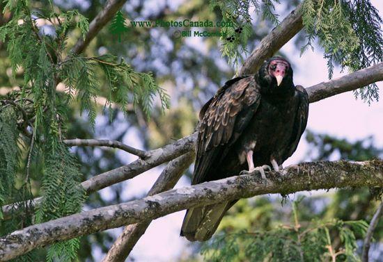 Turkey Vulture, Vancouver Island, BC CM11-006