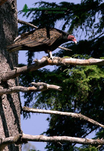 Turkey Vulture, Vancouver Island, BC CM11-001