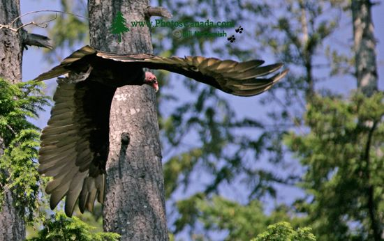 Turkey Vulture, Vancouver Island, BC CM11-002