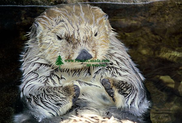 Sea Otter, Vancouver Aquarium, British Columbia, Canada CM11-06