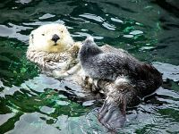 Sea Otter, Vancouver Aquarium, British Columbia, Canada  05