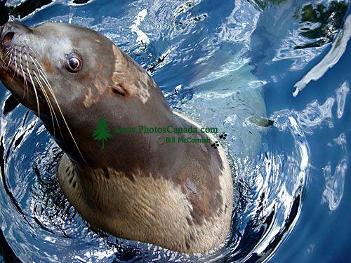 Harbour Seal, Vancouver Aquarium, British Columbia, Canada  03