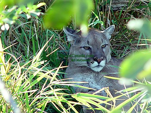 Cougar, Greater Vancouver Zoo, British Columbia, Canada   02
