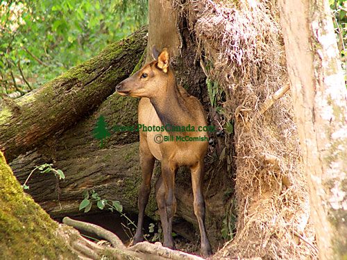 Sika Deer Calf, Greater Vancouver Zoo, British Columbia, Canada 05