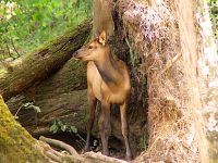 Sika Deer Calf, Greater Vancouver Zoo, British Columbia, Canada 05