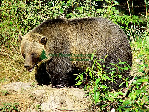 Grizzly Bear, Greater Vancouver Zoo, British Columbia, Canada   08
