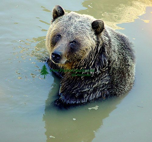 Grizzly Bear, Greater Vancouver Zoo, British Columbia, Canada   09