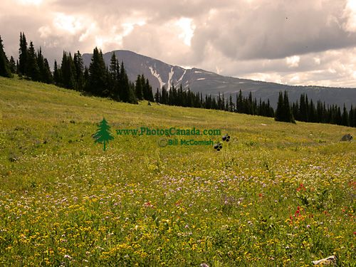 Wells Gray Park, Trophy Mountain Wildflowers, British Columbia, Canada CM11-01