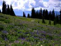 Wells Gray Park, Trophy Mountain Wildflowers, British Columbia, Canada CM11-02