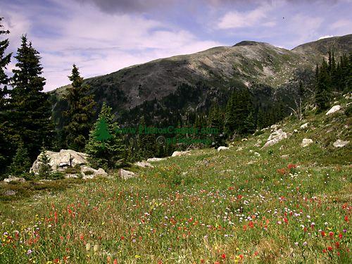 Wells Gray Park, Trophy Mountain Wildflowers, British Columbia, Canada CM11-03