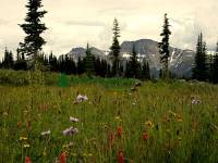 Highlight for Album: Wells Gray Park Photos, Trophy Mountain Wildflowers, British Columbia, Canada