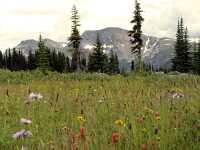Wells Gray Park, Trophy Mountain Wildflowers, British Columbia, Canada CM11-11