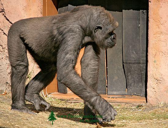 Female Western Lowland Gorilla, Calgary Zoo, Alberta CM11-07