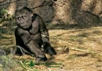 Highlight for Album: Western Lowland Gorillas, Calgary Zoo, Alberta IMAGES NOT FOR SALE