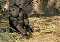 Baby Western Lowland Gorilla, Calgary Zoo, Alberta CM11-03