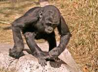 Baby Western Lowland Gorilla, Calgary Zoo, Alberta CM11-04
