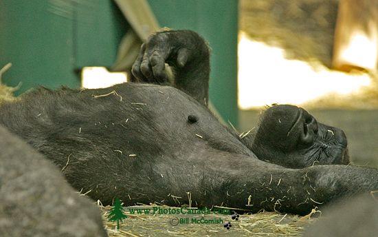 Western Lowland Gorilla, Calgary Zoo, Alberta CM11-01