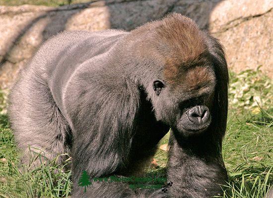 Male Western Lowland Gorilla, Calgary Zoo, Alberta CM11-06