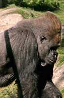Male Western Lowland Gorilla, Calgary Zoo, Alberta CM11-09
