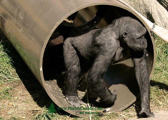 Female Western Lowland Gorilla, Calgary Zoo, Alberta CM11-02