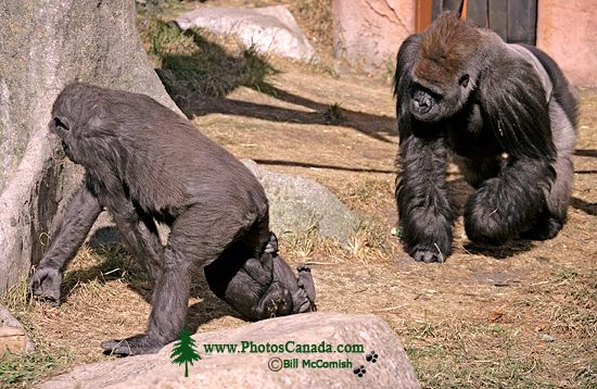 Western Lowland Gorillas, Calgary Zoo, Alberta CM11-05