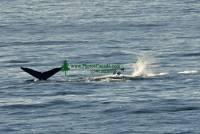 Highlight for Album: Whale Photos, Canadian Wildlife Stock Photos