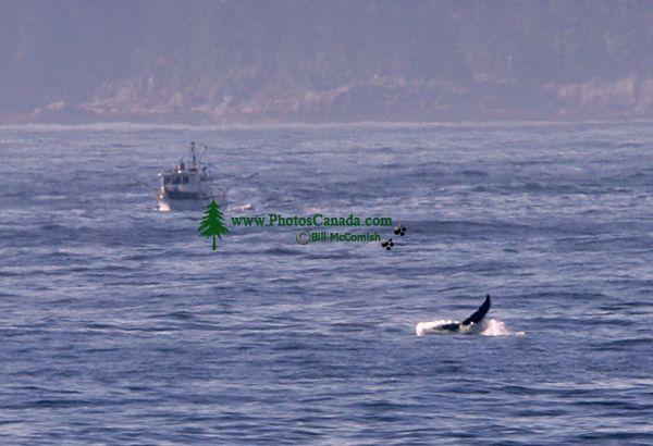 Humpback Whale CM11-03