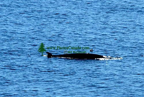 Minke Whale CM11-01