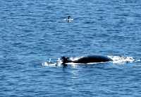 Minke Whale CM11-02