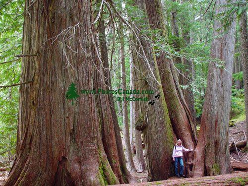 Whistler, Cougar Mountain, Ancient Cedars, British Columbia, Canada 04