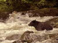 Black Bear Fishing, Gwaii Haanas National Park Reserve, British Columbia, Canada CM11-09