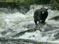 Black Bear Fishing, Gwaii Haanas National Park Reserve, British Columbia, Canada CM11-08
