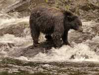 Black Bear Fishing, Gwaii Haanas National Park Reserve, British Columbia, Canada CM11-07