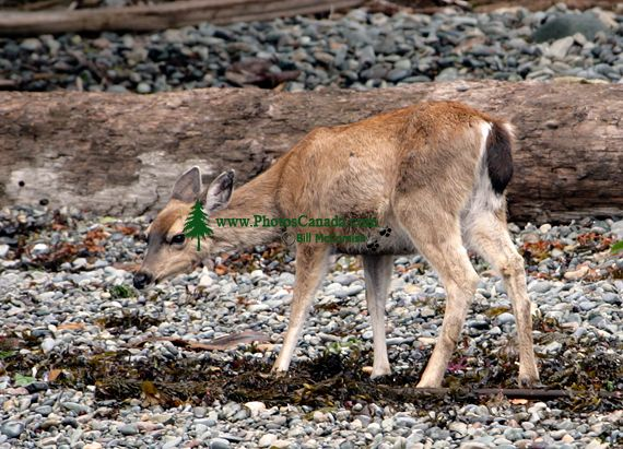 Sitka Deer, Gwaii Haanas National Park Reserve, British Columbia, Canada CM11-06