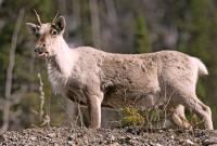 Highlight for Album: Woodland Caribou Photos, Western Canada,  Canadian Wildlife Stock Photos
