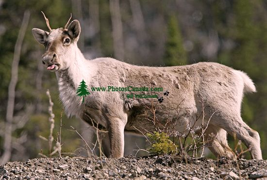 Woodland Caribou, Northern British Columbia CM11-04