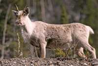 Woodland Caribou, Northern British Columbia CM11-04