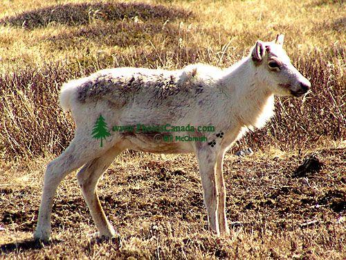 Woodland Caribou Calf, Newfoundland 05