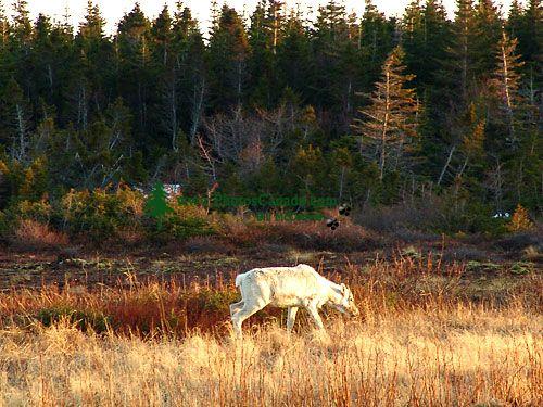 Woodland Caribou, Newfoundland Calf 06